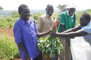 harvesting garden peas