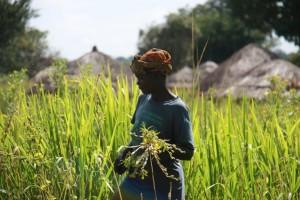 Women harvesting simsim